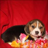 Pure breed Female Beagle Puppy for sale.
